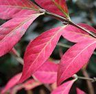 Provides wonderful autumn colour