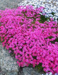 Kukkapenkki for dummies - Starbox Landscaping Plants, Garden Plants, Small Gardens, Outdoor Gardens, Pink Perennials, Gardening For Dummies, Alpine Garden, Backyard Plan, Deer Resistant Plants