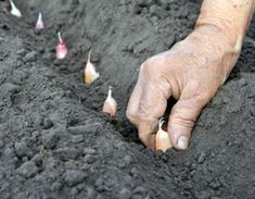 The Tasteful Garden has a broad selection of tutorials on how to grow a broad variety of veggies.