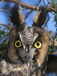 Long eared Owl !