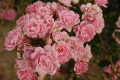 Bardzo popularna róża. Mało wymagająca, długo kwitnie. Kwiaty drobne, pełne, zebrane w duże
