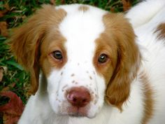 Brittany Spaniel pup- how could you resist that sweet face?!