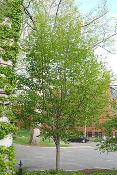Allegheny Serviceberry Sidewalk, Country Roads, Backyard, Landscape, Trees, Gardening, Image, Park, Google Search