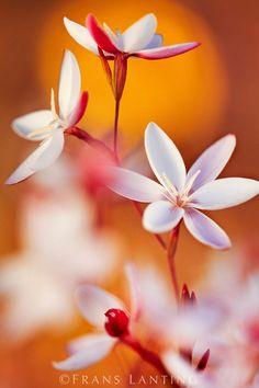 Avondblom © Frans Lanting Bokeh Photography, Floral Photography, Amazing Photography, School Photography, Wonderful Flowers, Weird And Wonderful, Beautiful Flowers, Photo Bokeh, Frans Lanting