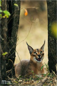 """Isn't s/he gorgeous! The Caracal - caracal, is a fiercely territorial medium-sized cat ranging over Western Asia, South Asia and Africa. The word caracal comes from the Turkish word """"karakulak"""", meaning """"black ear"""". Wikipedia"""