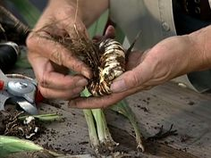 How to Store Flower Bulbs How to store bulbs for the summer. In early fall dig up carefully. Let dry about two days outside, then indoors with good circulation 2 weeks. Refrigerate or weeks and plant in early spring, about Feb in Central FL Garden Bulbs, Planting Bulbs, Garden Plants, Indoor Plants, Planting Flowers, Container Gardening, Gardening Tips, Tulip Bulbs, Fall Plants