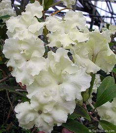 Brunfelsia jamaicensis  - check!