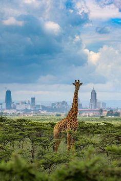 #Giraffe #Nairobi National Park Kenya