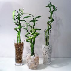 Decorate old vases, fill them with rock and water the lucky bamboo stalks with bottled water. Easy old vases, fill them with rock and water the lucky bamboo stalks with bottled water. Vases Decor, Plant Decor, Bamboo Centerpieces, Lucky Bamboo Plants, Bamboo Stalks, Decoration Plante, Bamboo Decoration, Bamboo Design, Diy Garden