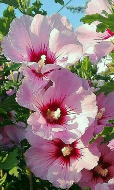 Hibiscus (Rose of Sharon, Rose of China) Hibiscus Flowers, Exotic Flowers, Tropical Flowers, Amazing Flowers, Pink Flowers, Beautiful Flowers, Lilies Flowers, Hawaiian Flowers