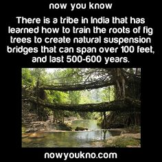 gayblooddonation: nowyoukno: Source | To stay in the know follow NowYouKno These are super cool because it's the Khasi people who do this and it has been going on for a really long time. The art of making the root bridges is passed down from generation to generation, and is still taught today