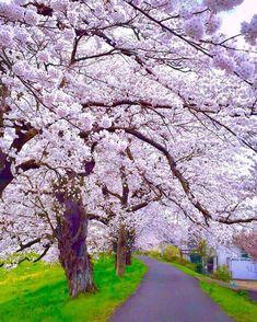 Miyagi, Hello Spring, Side Walk, Japan, River, Vacation, Cherry Blossoms, Instagram Posts, Flowers