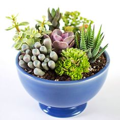 Succulent garden diy types of 31 ideas Types Of Succulents, Succulents In Containers, Cacti And Succulents, Planting Succulents, Cactus Plants, Planting Flowers, Air Plants, Succulent Bowls, Succulent Gardening