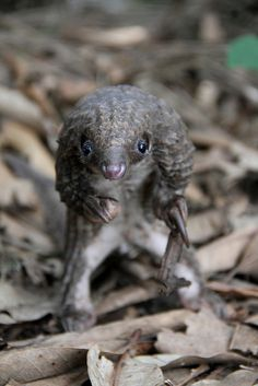 Pangolin Portrait by Guy Colborne, via Flickr