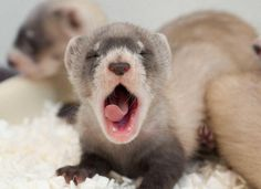 lil baby Ferret!