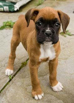 So cute!...love the flash on this fawn colored boxer