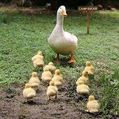 Mother duck with her ducklings Nature Animals, Farm Animals, Animals And Pets, Funny Animals, Cute Animals, Beautiful Birds, Animals Beautiful, Animal Pictures, Cute Pictures