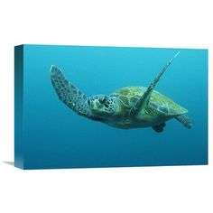 Global Gallery Nature Photographs Green Sea Turtle Swimming, Galapagos Islands, Ecuador Photographic Print on Canvas Size: