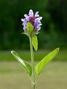 Niittyhumala, Prunella vulgaris - Kukkakasvit - LuontoPortti