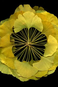 52004 Ginkgo biloba | Flickr - Photo Sharing!