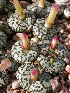 C.obcordellum 'anum ursprung' SB.635. Algo me dice que estas suculentas, así como las anteriores, son bastante caros!