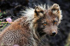 Wild Arctic fox (Vulpes lagopus fuliginosis), Iceland. Sometimes called mountain-fox.