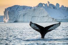 I Grønland findes et helt unikt dyreliv, og der skal jo også lidt til for at leve i et land med et barsk arktisk klima. Mere om det grønlandske dyreliv.