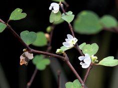 Мюленбекия приплюснутая - Muehlenbeckia astonii, мюленбекия фото