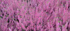 Calluna purple Spring Perennials, Plant Texture, Salvia, How To Look Better, Purple, Garden, Nature, Plants, Pictures