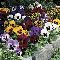 Pansies filled the planters of City Hall across the street from Grandma Harper's house.....will have these in my new yard.....