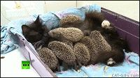 Rare interspecies behavior Mama Cat becomes wet-nurse to 8 baby hedgehogs