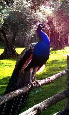 Peacock enjoying the view.