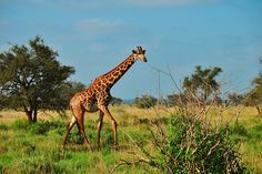 Kenia: Unohtumattomimmat elämykset koet safareilla. Hyvällä tuurilla voit bongata The Big Fiven!  http://www.finnmatkat.fi/Lomakohde/Kenia/Diani-Beach/?season=talvi-13-14