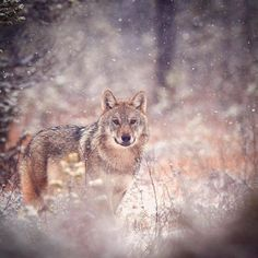 Grey wolf (canis lupus) on first snow. Finland by Niko Pekonen