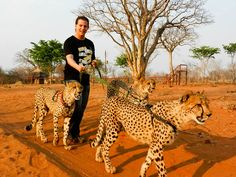 Shit....this is something i wont dream about!! Walking cheetahs on a Dog leash (Scared)