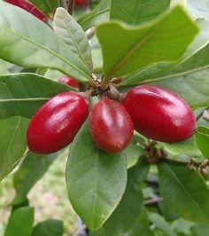 Le fruit miracle ou fruit miraculeux est originaire de l'Afrique de l'Ouest et possède une chair blanche et acidulée. Transforme l'amer en sucré. Alternative aux édulcorants de synthèse ?