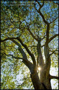 Here ya go, Mom!  Sycamore tree :)