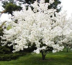 34 Best Dwarf Crabapple Trees For Mn Images Dwarf Dwarfism Firebird