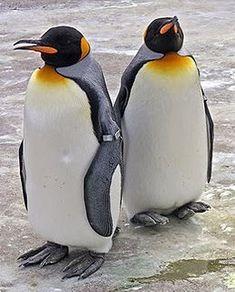 A pair of king penguin at Edinburgh Zoo Penguin Bird, King Penguin, Penguin Love, Cute Penguins, March Of The Penguins, Penguin Images, Penguin Species, Flightless Bird, Bird Pictures