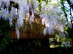 Wisteria overflowing on my deck in May. In Hillsboro, Oregon