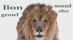 The #AnimalSounds: #Lion #Growl - #SoundEffect - #Animation #FinFanFun #LionVideo  http://fin-fan-fun.blogspot.rs/2016/06/the-animal-sounds-lion-growl-sound.html