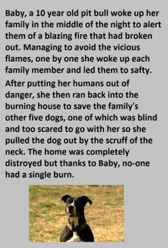 """True Stories of HERO Pit Bulls - This one in particuar was so amazing and awe-inspiring! Almost cried happy tears! And in my opinion there are not """"good or bad breeds,"""" there can be bad dogs, but those who raised the are responsible. Just my opinion!"""