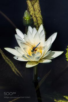 Dragon Fly on Lily by johnnyriv. @go4fotos