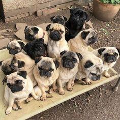 Pug Love is never enoug #pug Love is never enough #pugs
