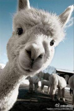 传说中的草泥马 Cute Baby Animals, Animals And Pets, Funny Animals, Wild Animals, Happy Animals, Amazing Animals, Animals Beautiful, Hello Beautiful, Beautiful Soul