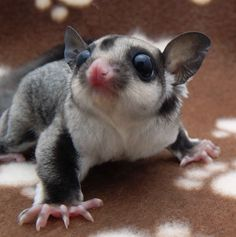 Sugar Glider 22 Adorable Animals That You Probably Didn't Even Know Existed Sugar Glider Pet, Sugar Gliders, Cute Funny Animals, Cute Baby Animals, Baby Skunks, Sugar Bears, Flying Squirrel, Baby Dogs, Kawaii