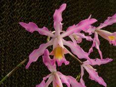 Schomburgkia superbiens alba x Myrmecophyla brysiana (BR)