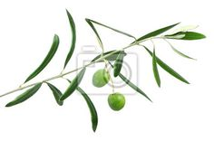 Tableau ou Poster olive tree branch