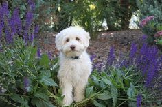 Willow at High Country Australian Labradoodles