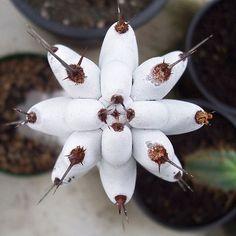 Faslimy stenocereus beneckei